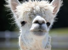 White alpaca with large forehead stares out at horizon. Headshot, Black eyes, sunny Stock Photos