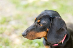 Headshot of black puppy dachshund marking in the side Royalty Free Stock Photo