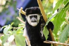 Headshot of a black and white colobus monkey Stock Images