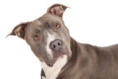 Headshot of a Blue Pit Bull Dog Stock Photography