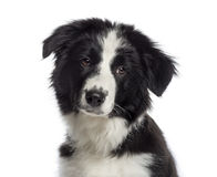 Headshot of a Border Collie puppy (4 months old) stock images