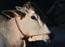 Headshot of brahma cow. Sunlit head detail of brahma cow with rope through notrils and around neck royalty free stock image