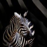A Headshot of a Burchell's Zebra Royalty Free Stock Photo