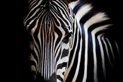 A Headshot of a Burchell's Zebra Royalty Free Stock Image
