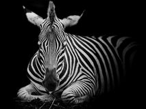 A Headshot of a Burchell's Zebra Stock Image