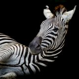 A Headshot of a Burchell's Zebra Stock Photo