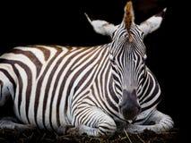 A Headshot of a Burchell's Zebra Royalty Free Stock Photos
