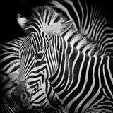 A Headshot of a Burchell's Zebra Royalty Free Stock Images