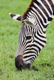 A Headshot of a Burchell's Zebra Stock Images