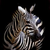 Headshot Burchell zebra Fotografia Royalty Free