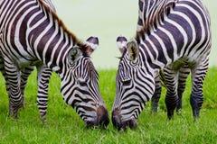 Headshot Burchell zebra Zdjęcie Stock
