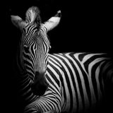 Headshot Burchell zebra Zdjęcie Royalty Free