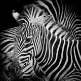 Headshot Burchell zebra Obrazy Royalty Free