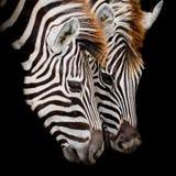 Headshot Burchell zebra Fotografia Stock
