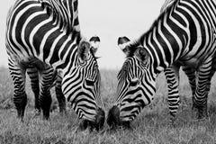 Headshot Burchell zebra Obraz Royalty Free
