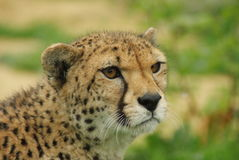 Headshot of Cheetah (Acinonyx jubatus) stock image