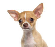 Headshot of a Chihuahua puppy (3 months old) Stock Photography