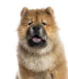 Headshot of a Chow Chow (7 months old) Royalty Free Stock Photography