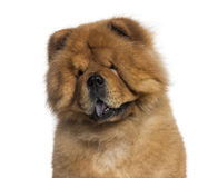 Headshot of a Chow Chow (3 years old) Royalty Free Stock Photos