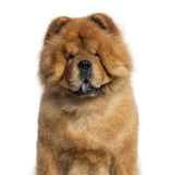 Headshot of a Chow Chow (3 years old) Royalty Free Stock Image