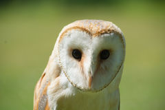 Headshot of Common Barn Owl Stock Image