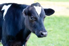 A headshot of a cow standing in a field royalty free stock images