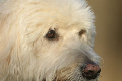 A headshot of a Cute Labradoodle dog. Stock Photo