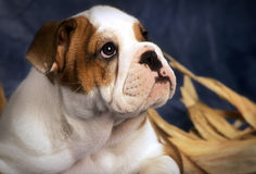 bouledogue de chiot Photos stock