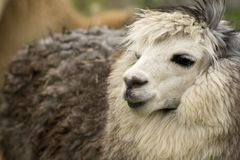 Headshot da alpaca imagem de stock royalty free