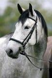 Headshot da vista lateral de um cavalo cinzento fleabitten com harne de couro Imagem de Stock Royalty Free