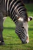 Headshot da zebra que pasta na grama Imagem de Stock