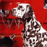 Headshot dalmatien Photographie stock libre de droits