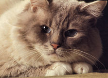 Headshot de chat de Birman Photographie stock