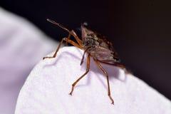 Headshot de Forest ShieldBug Photographie stock libre de droits