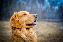 Headshot de golden retriever Image stock