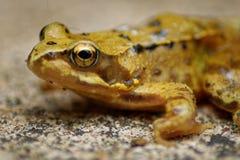 Headshot de grenouille Photo stock