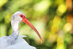 Headshot de Ibis branco de encontro ao fundo borrado Fotografia de Stock Royalty Free