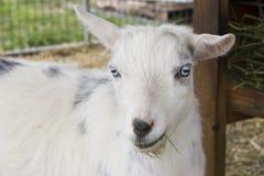 Headshot de la cabra Fotografía de archivo libre de regalías