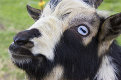 Headshot de la cabra Imagen de archivo libre de regalías