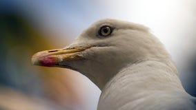Headshot de la gaviota Foto de archivo libre de regalías