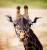 Headshot de sorriso de um girafa Imagens de Stock