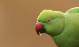 Headshot de um Anel-necked, ou rosa-rodeado, periquito que é o ` BRITÂNICO s a maioria de papagaio naturalizado abundante foto de stock