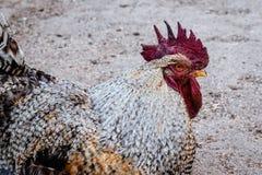 Headshot de um galo com cor piercing dos olhos Imagens de Stock Royalty Free