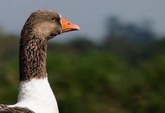 Headshot de un pato Fotos de archivo