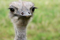 Headshot de una avestruz Imagen de archivo libre de regalías