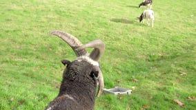 Headshot de una cabra de Bagot del escocés, con la parte posterior de la cabeza que hace frente a la cámara, algunas cabras más s almacen de video