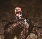 Headshot del buitre de Turquía en cueva Imagenes de archivo