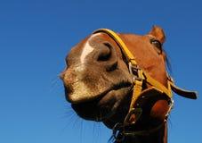 Headshot del caballo fotografía de archivo libre de regalías