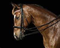 Headshot del caballo Foto de archivo
