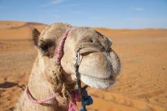 Headshot del camello Fotografía de archivo
